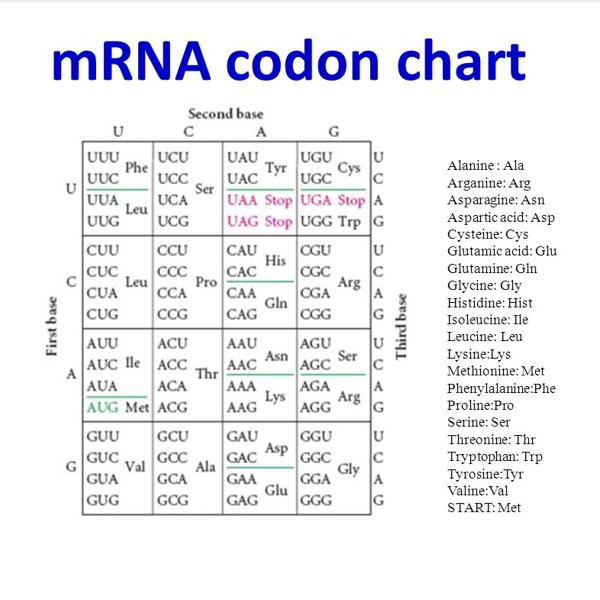 mrna codon chart
